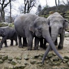 Ruziënde olifanten veilig aangekomen