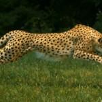 Welk dier is het snelste landdier ter wereld?
