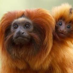 Zeldzame aapjes gestolen uit Apenheul