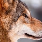 De wolf is er weer!