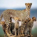 Jachtluipaard (Cheeta)