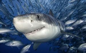 Haai-achtergronden-dieren-hd-haaien-wallpapers-foto-3